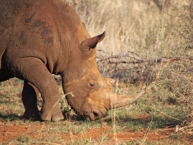 Pâturage du rhinocéros blanc photo libre de droits