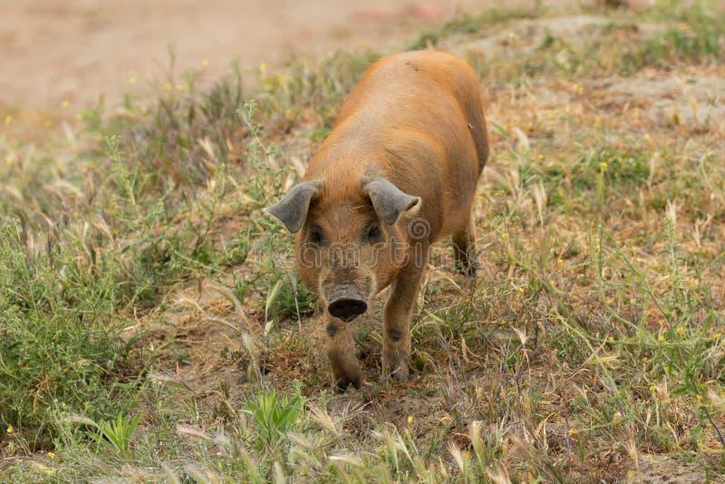 Pâturage ibérien de porcs photos stock