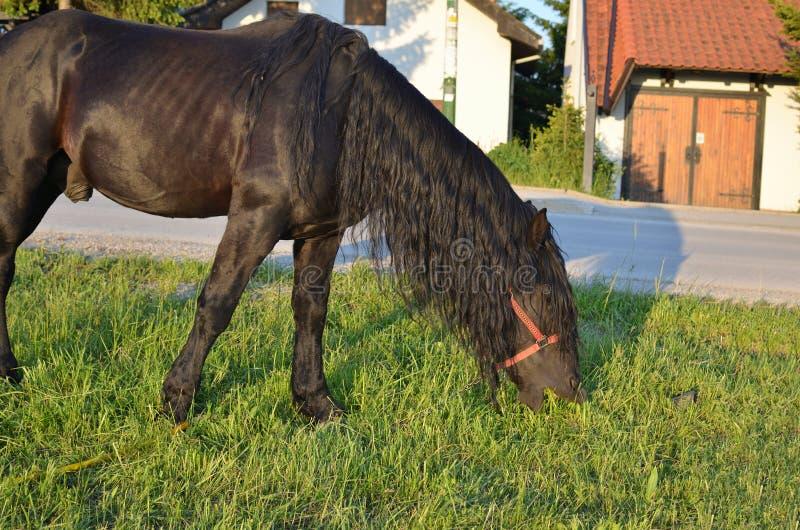Pâturage noir de cheval photos libres de droits