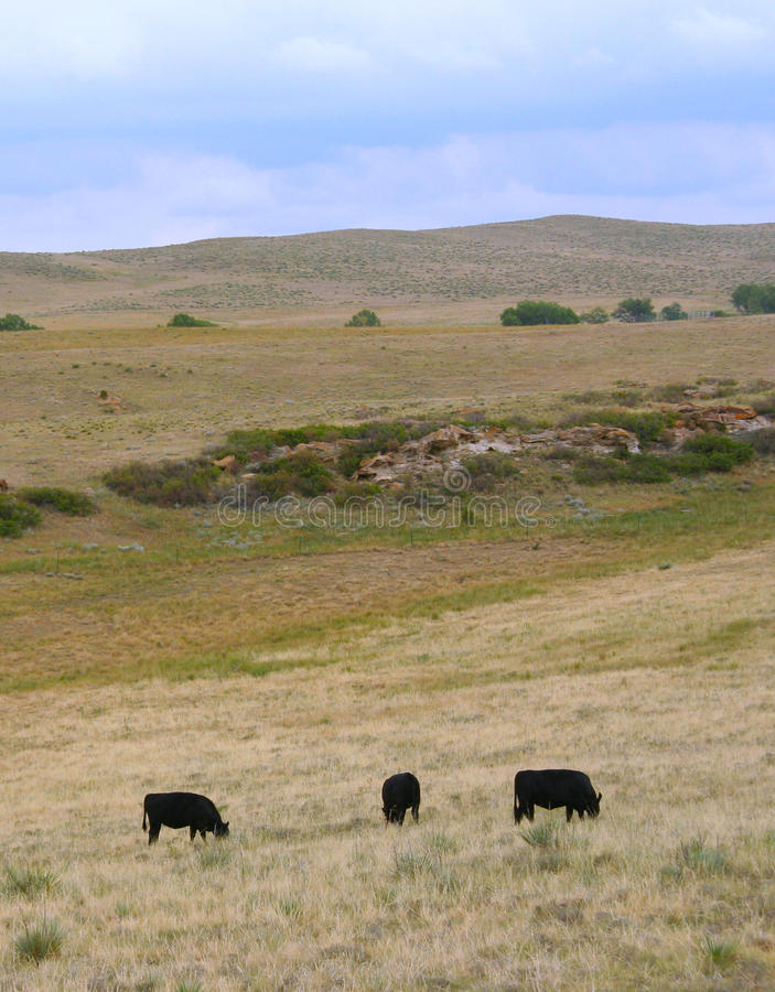 Pâturage noir de vaches à Angus. image stock