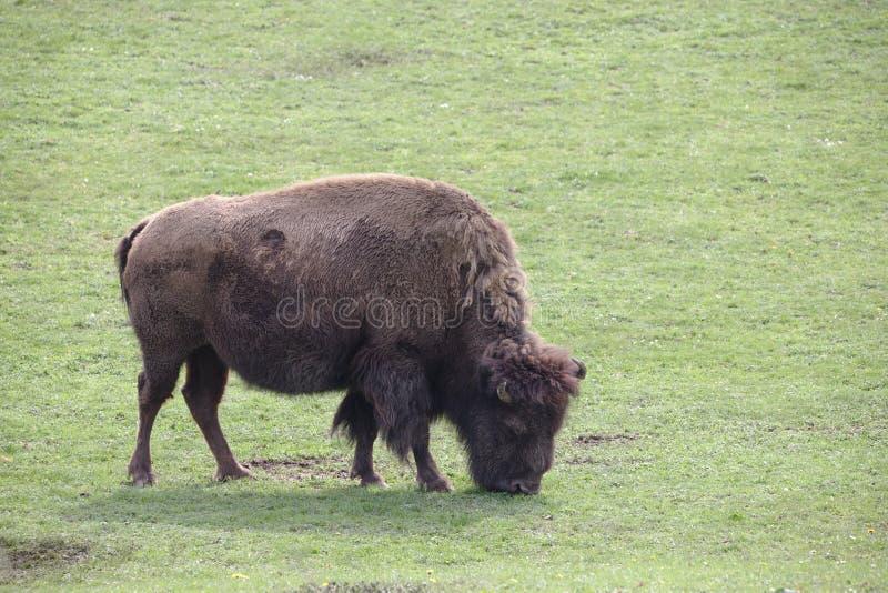 Pâturage puissant simple de buffle/bison photographie stock