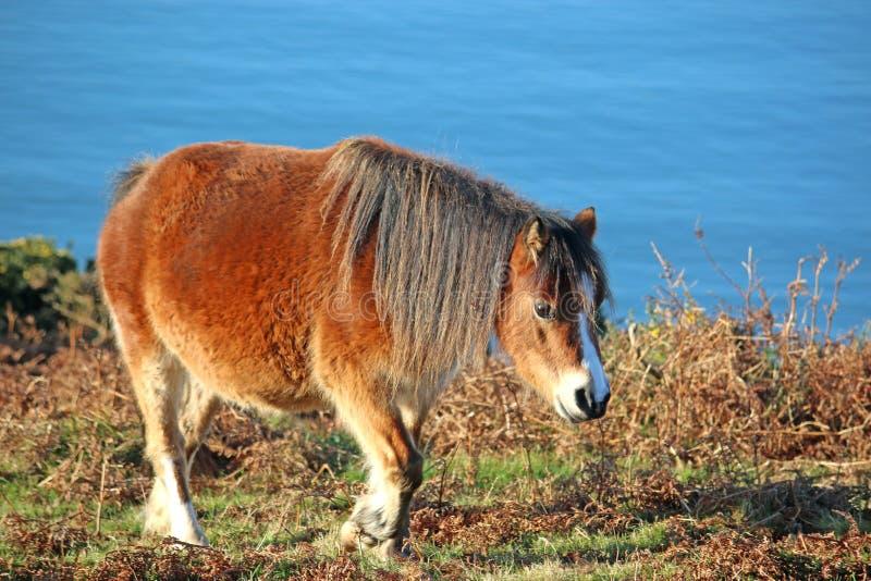 Pâturage sauvage de poney images libres de droits