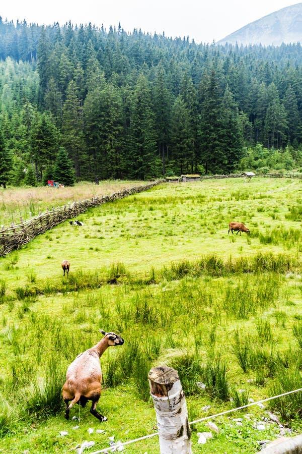 Pâturage vert pour des moutons hauts dans les montagnes photographie stock libre de droits