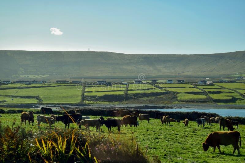 Pâturages verts verts de l'Irlande avec des vaches frôlant là images stock