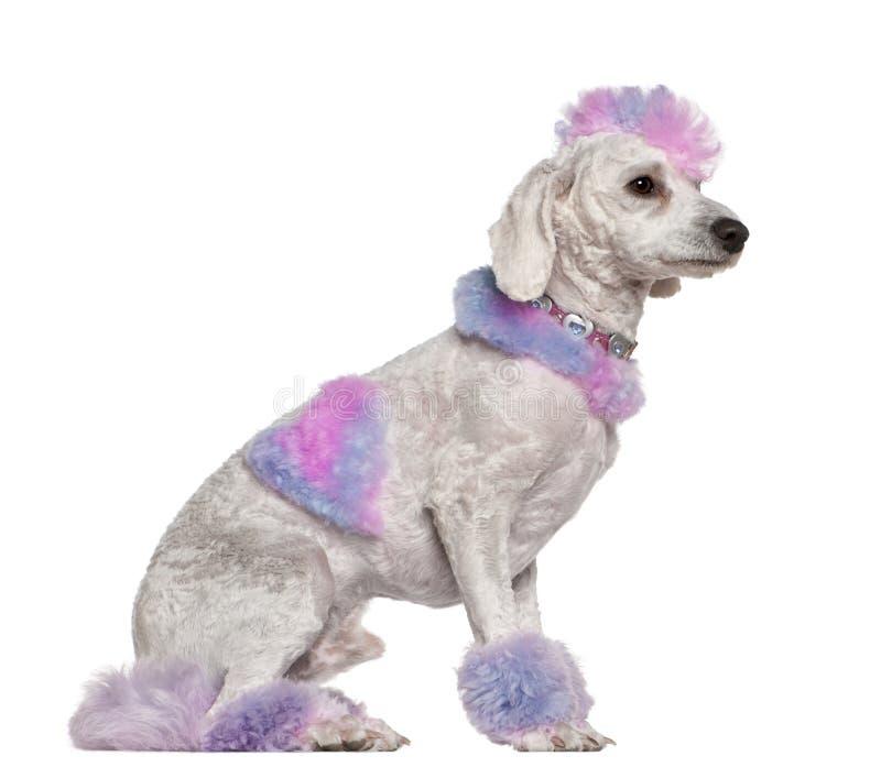 päls ansad purple för mohawkpinkpoodle arkivfoto