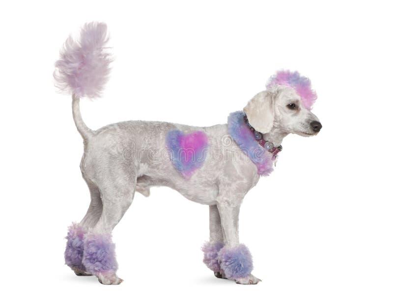 päls ansade rosa poodlepurple för mohawk arkivfoto