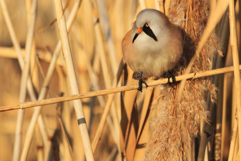 Päls- fågel med en mustasch som sitter på busksnår för en vass royaltyfri fotografi
