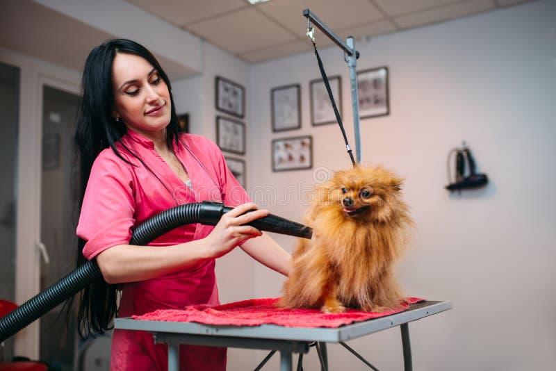 Päls för hund för älsklings- groomer för kvinnlig torr med en hårtork arkivfoto