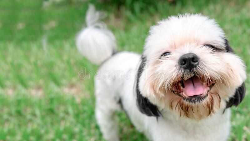 Päls för hundavelShih-Tzu brunt som är i trädgården av gräs royaltyfri foto