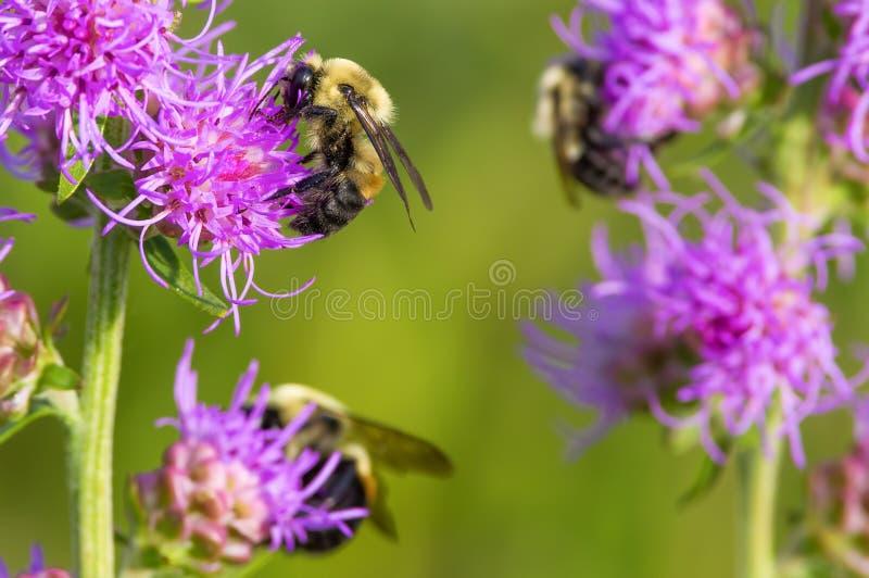 Päls- gulligt stapplar bin som matar, och att pollinera på vad jag tror, är en purpurfärgad grov blomma för flammande stjärna - s arkivfoto