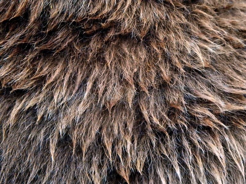 Pälsbrunbjörn - närbild royaltyfri foto