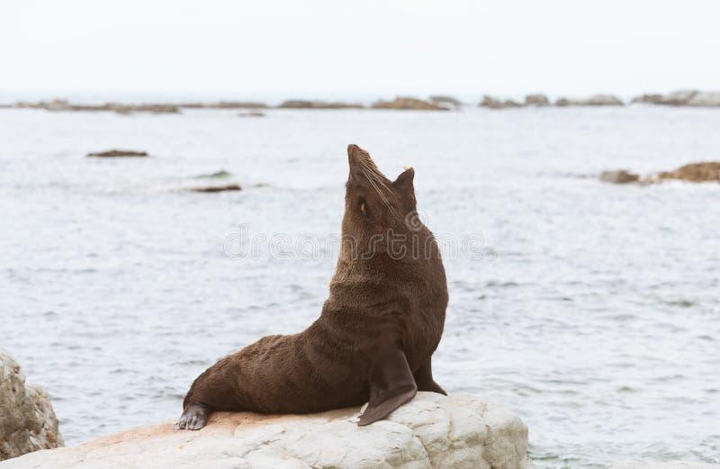 Pälsskyddsremsa som gäspar på kusten, Kaikoura royaltyfria bilder