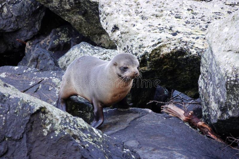 Pälsskyddsremsavalp på Milford Sound, Nya Zeeland royaltyfria bilder