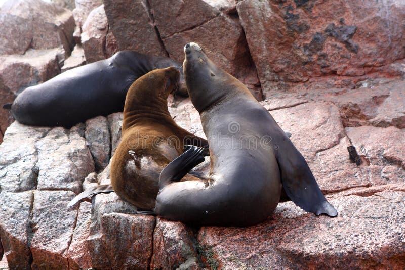 Pälsskyddsremsor på de Ballestas öarna, Paracas, Peru arkivfoton