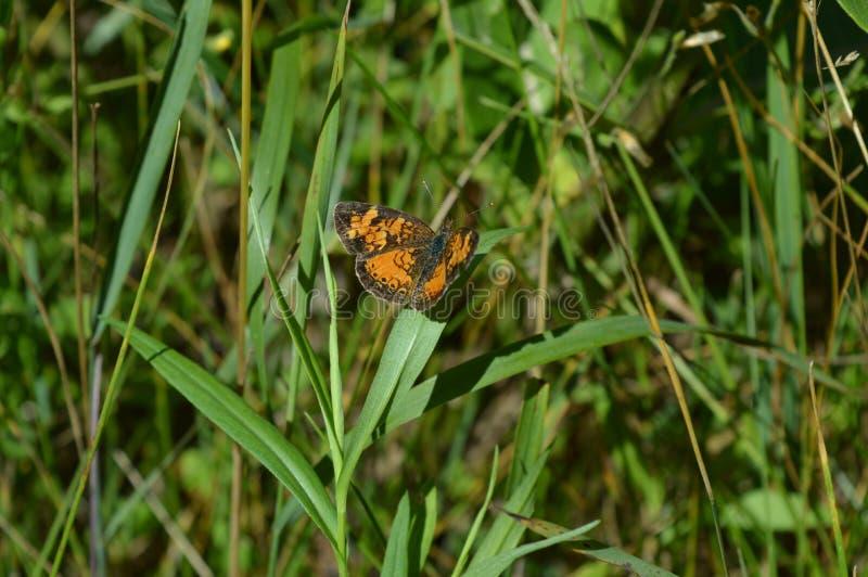 Pärlemorfärg Crescent Butterfly arkivfoton