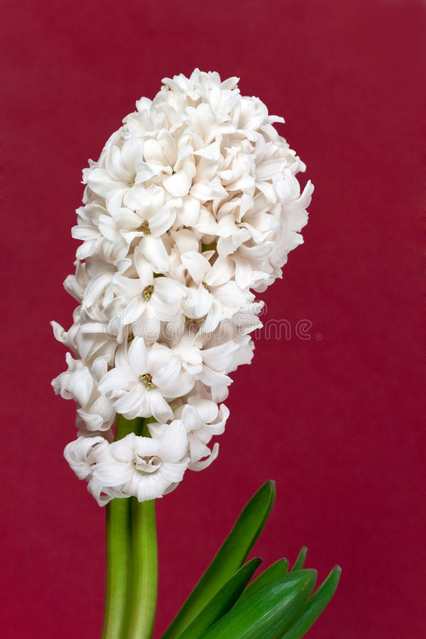 pärlemorfärg vasewhite för hyacint arkivfoton