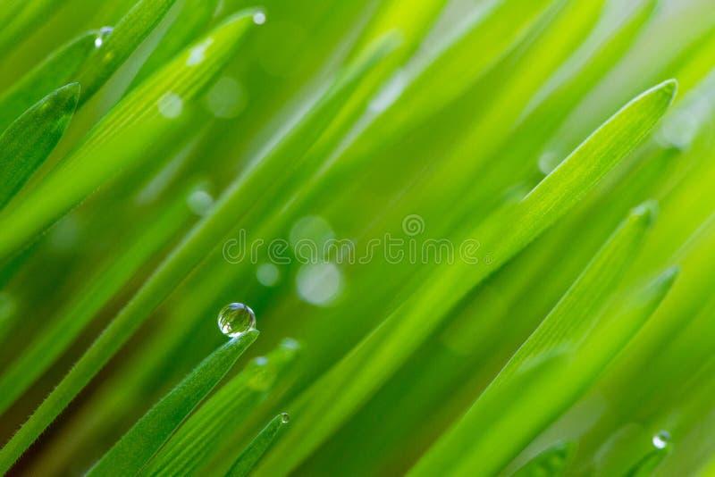 Pärlor på gräs fotografering för bildbyråer