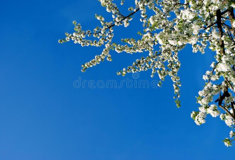 Päron i blomning royaltyfri foto