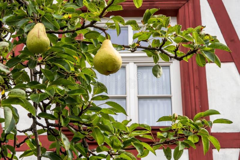 Päron på ett päronträd framme av ett historiskt korsvirkes- hus royaltyfria bilder