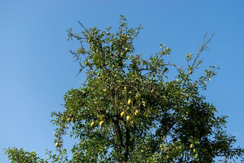 Päron på ett träd i den trädgårds- organiska gårdsproduktsommarhösten fotografering för bildbyråer
