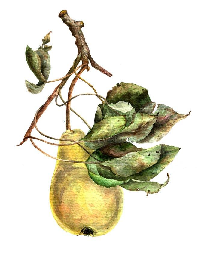 Päron på filial med sidor Gul pear Frukt på träd för flygillustration för näbb dekorativ bild dess paper stycksvalavattenfärg vektor illustrationer