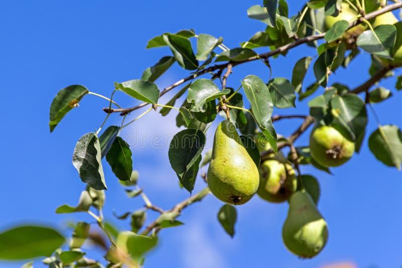 Päron som hänger på trädet mot den blåa himlen arkivfoton