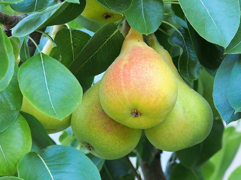 Päron som mognar på träd royaltyfri fotografi