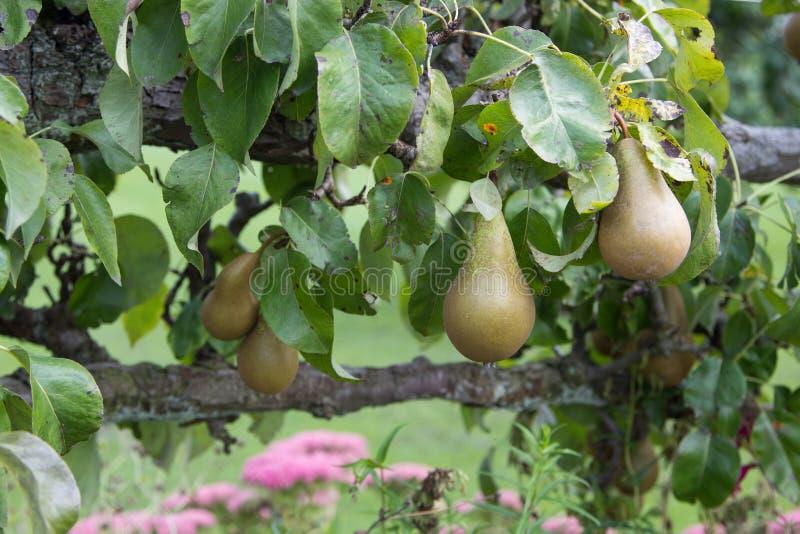 Päron som växer i trädgård arkivfoton