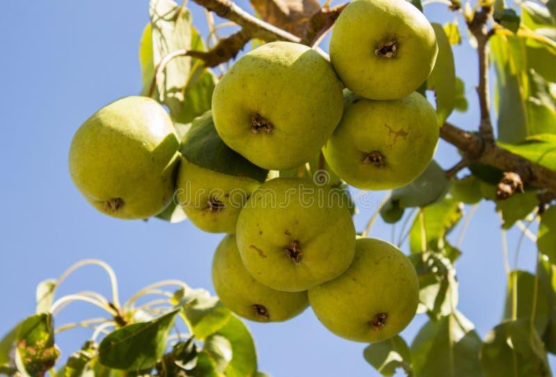 Download Päronen På Trädet Som Ett Symbol Av Landslivet Fotografering för Bildbyråer - Bild av sunt, odling: 76702339