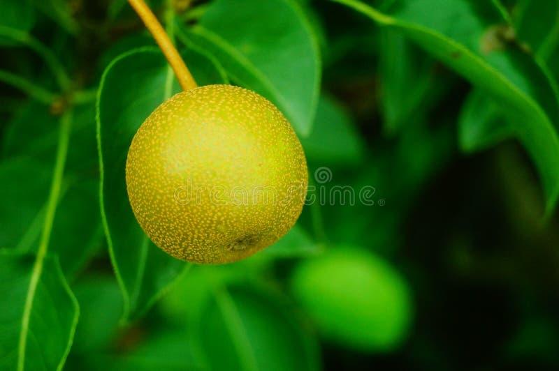 Päronet hänger på päronträdet som inte ännu är moget fotografering för bildbyråer