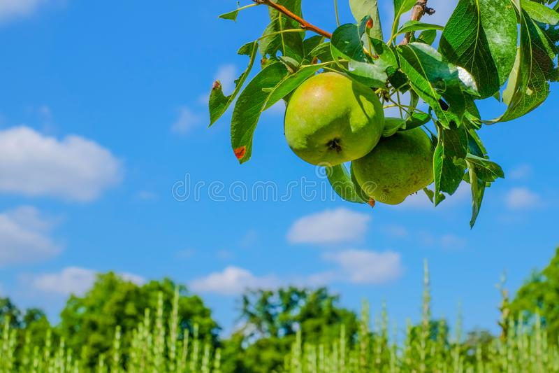 Päronfilial med päron framme av blå himmel arkivbild