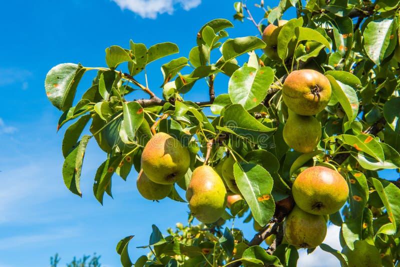 Päronfrukt på trädet i den blåa himlen arkivfoton