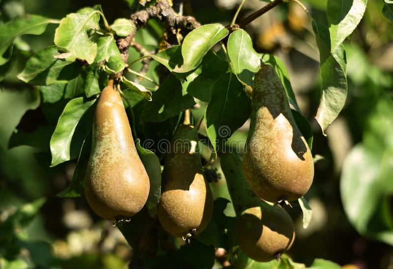 Päronträd i frukt arkivbild