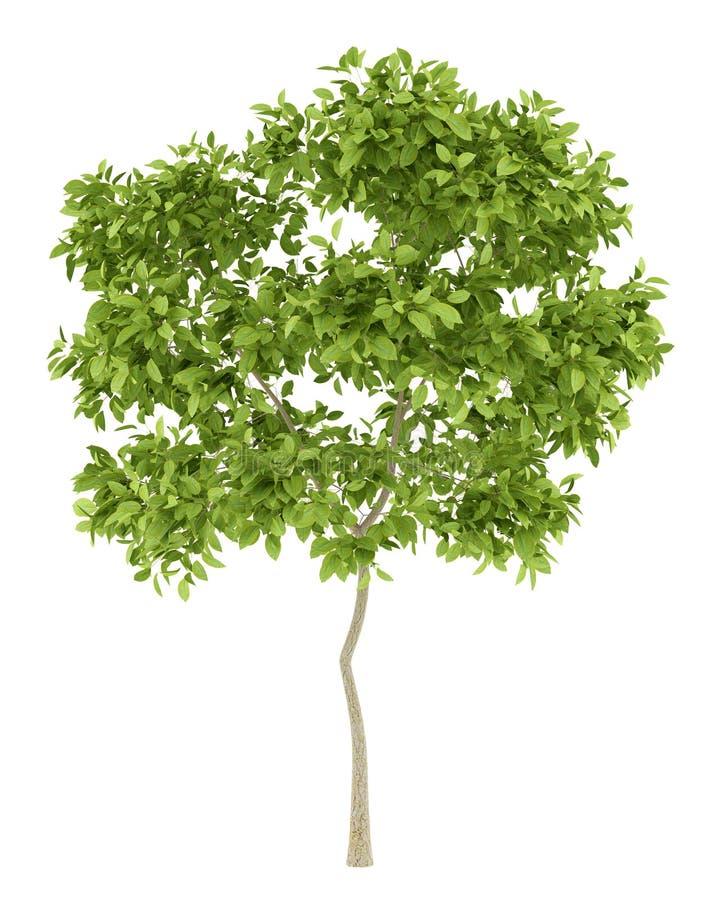 Päronträd som isoleras på vit royaltyfri illustrationer