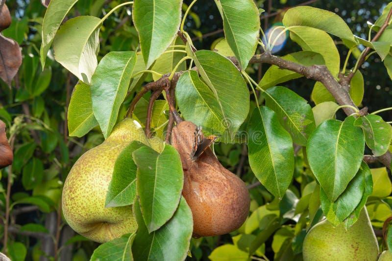 Päronträd som påverkas av den svamp- sjukdomen Närbild av sjuk gul rutten frukt royaltyfri foto