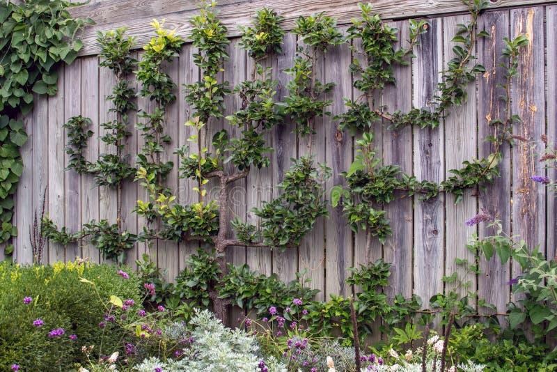 Päronträd som växer lodrätt på en trävägg royaltyfri bild