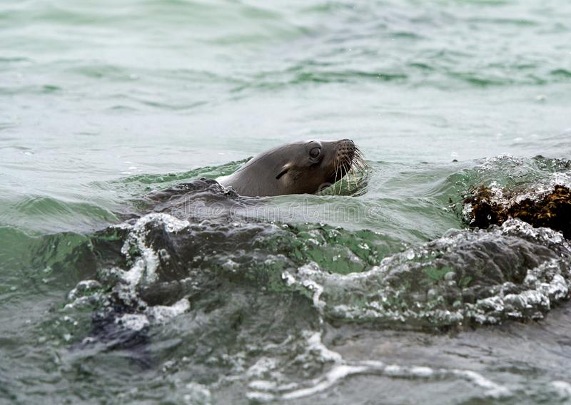 Pływać Galapagos Dennego lwa obrazy royalty free