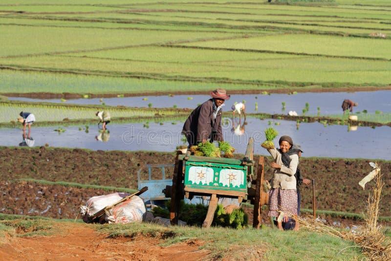 På arbete i fälten av Antsirabe arkivbilder