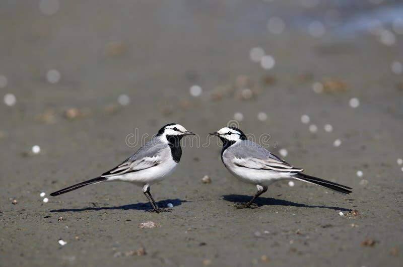 På de vita sädesärlafåglarna arkivbild