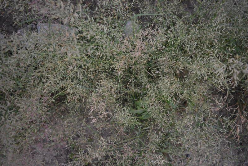 På en White River peso med ett stickande fram fluffigt gräs och mycket små svalor i aftonen royaltyfria foton