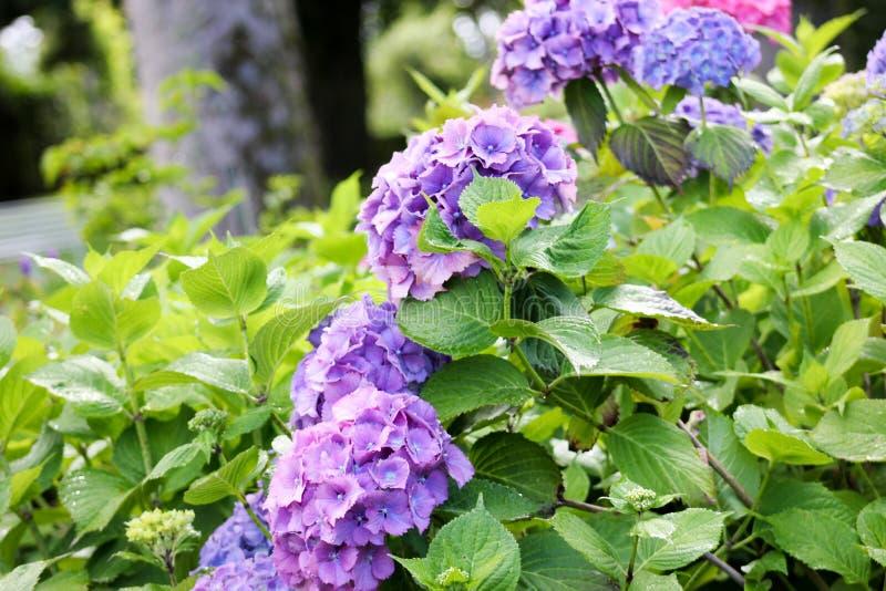 På engelska trädgård för vanliga hortensior royaltyfria foton