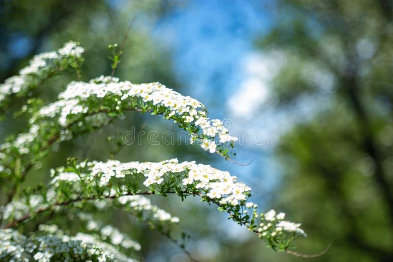 På filial blommade spireaen många små blommor Texturera eller bakgrund arkivbilder
