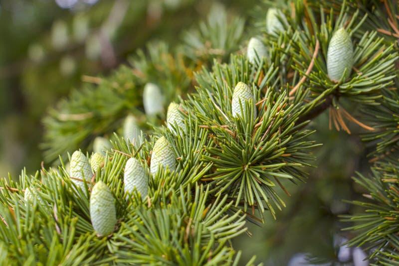 På filialträd lilla gröna unga växer kottarna upp närbild fotografering för bildbyråer
