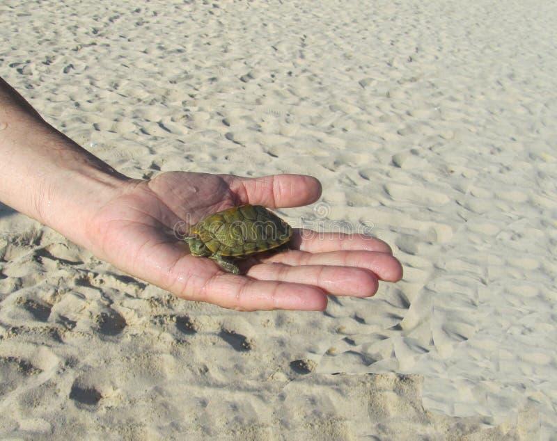 På gömma i handflatan ligger en liten sköldpadda royaltyfri foto