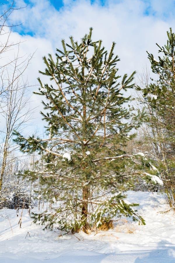 På kanten av skogen som en ung gräsplan sörjer, växer, en klar solig vinterdag royaltyfri bild