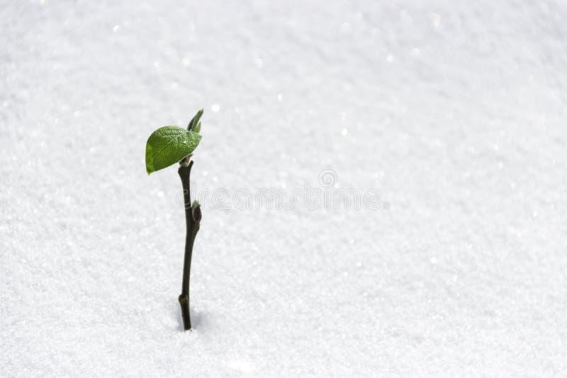 På snöträd slår ut knopparna det gröna unga bladet arkivbild