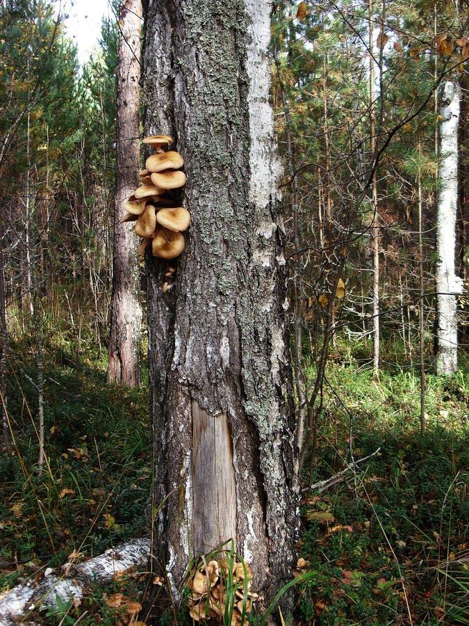 På stammen av björkträdet väx ätliga champinjonhonungagarics fotografering för bildbyråer