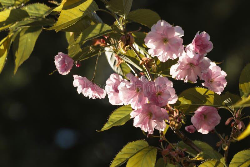 På våren i de härliga dekorativa körsbärsröda blomningarna för trädgård - sakura arkivbild