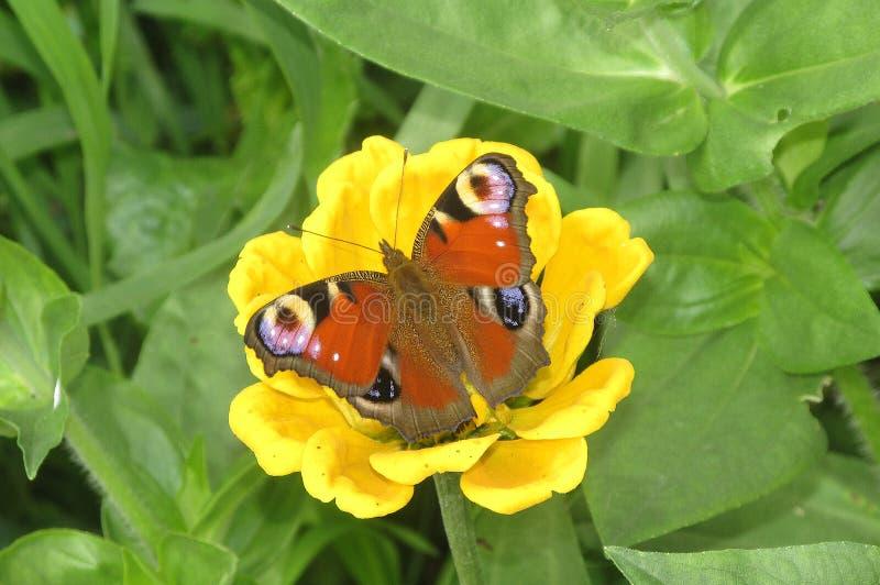 Påfågelögonfjärilen som sitter på en gul blomma på den gröna bakgrunden fotografering för bildbyråer