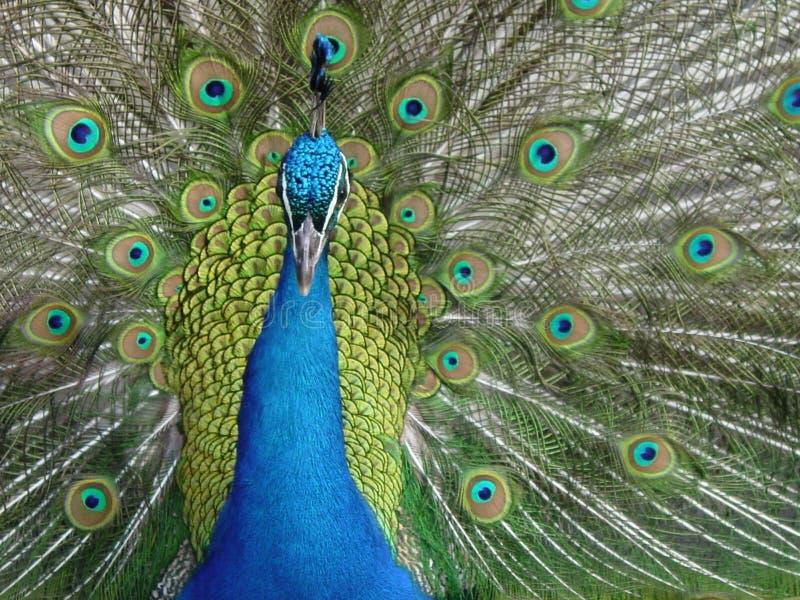 påfågel arkivbild
